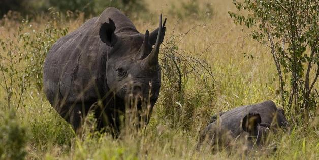 RinocerulNegruDeSuparare