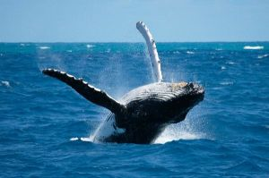 __whBaleen_Humpback_Whale_In_the_Ocean_600