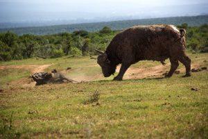 buffalo1-780x520